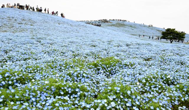丘一面を覆うネモフィラ=22日午前10時9分、茨城県ひたちなか市、角野貴之撮影