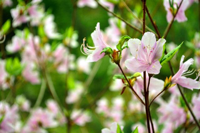 かれんな花を咲かせたアマクサミツバツツジ=上天草市