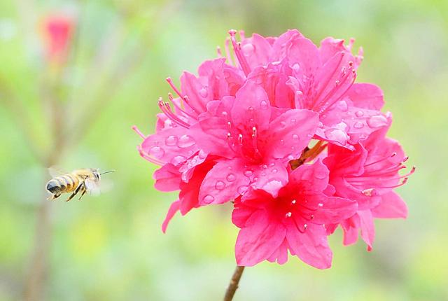 咲き始めのツツジに蜜を求めてやってきたハチ=和歌山市明王寺
