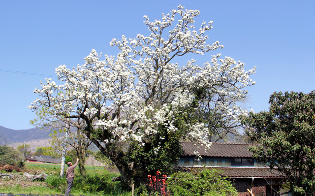 満開となった梨の花=南島原市