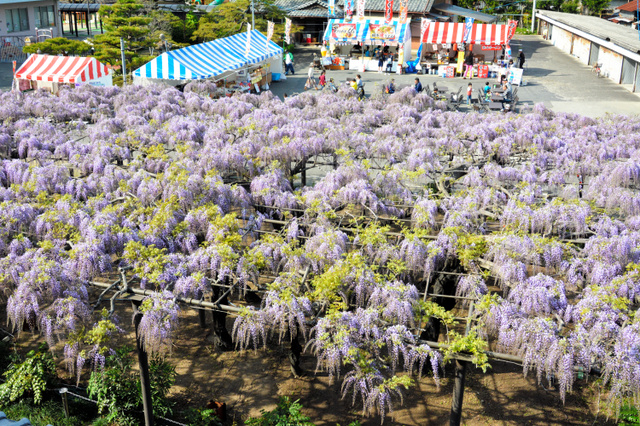 鮮やかに咲いたフジ=羽島市竹鼻町