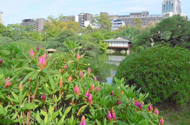 見頃はまだまだ先の相楽園のツツジ=神戸市中央区中山手通5丁目