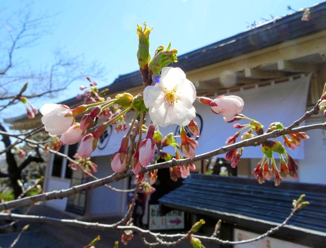 ソメイヨシノも花を咲かせ、北海道も本格的な春を迎える=松前町提供