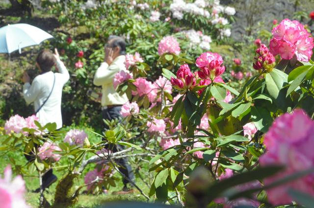 満開のシャクナゲ=神埼市脊振町服巻の浄徳寺