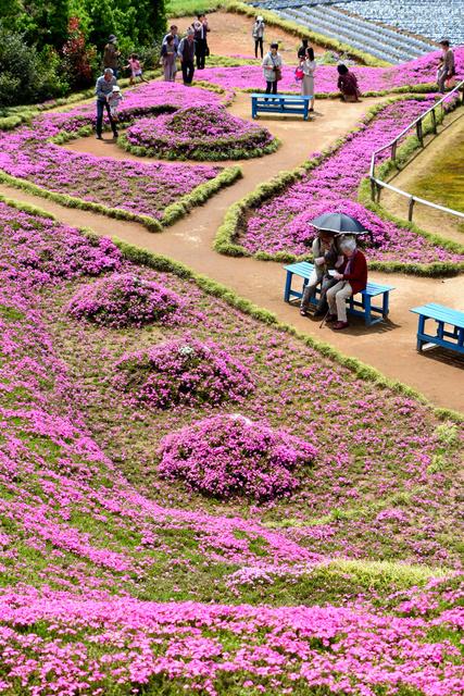 黒木さん宅の庭に咲いたシバザクラ=宮崎県新富町新田