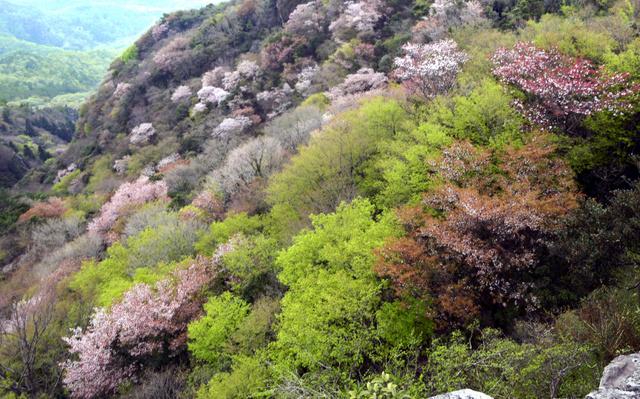 新緑と山桜が美しい寒霞渓=小豆島町