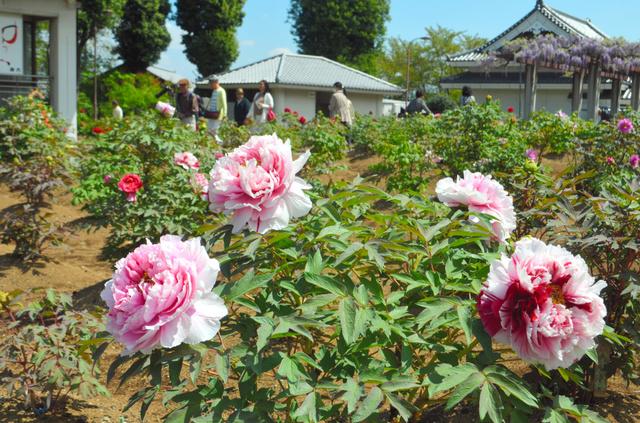 株によって、花をつけているものと、まだつぼみのものがある=市川三郷町上野