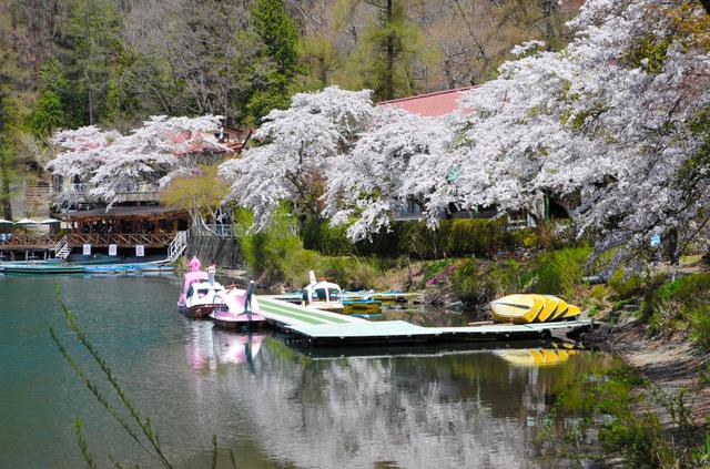 観光客はまばらで、静かな湖面に満開のソメイヨシノが映っていた=市川三郷町の四尾連湖