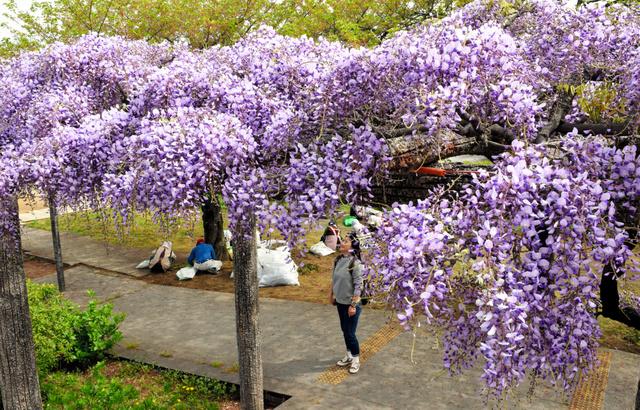玉敷公園で来園者を迎える藤=加須市騎西