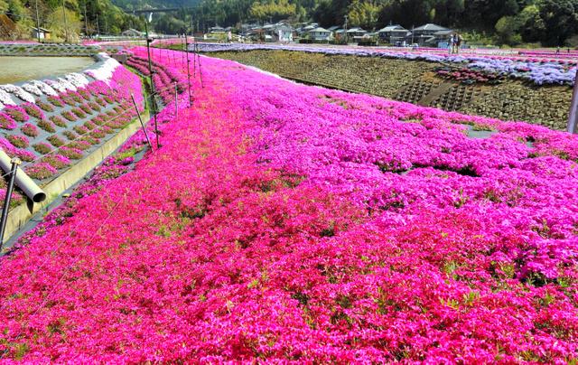 色とりどりの花で集落一帯を彩るシバザクラ=高浜町横津海