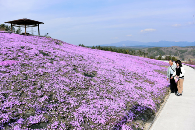 咲き始めたシバザクラ=平田村のジュピアランドひらた