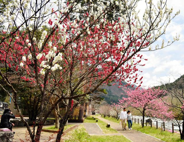 """様々な色のハナモモの花が咲く道の駅「南飛<Asajikai sjis=""""騨"""">驒</Asajikai>小坂はなもも」周辺=下呂市小坂町"""