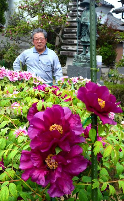 順に咲き始めたボタンと世話をする大植清さん=伊賀市上野農人町