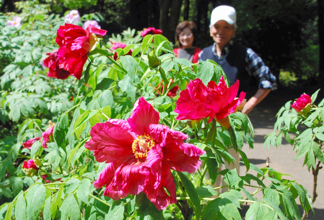早咲きのボタンが、色鮮やかに咲いている=つくば牡丹園
