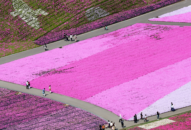 見ごろを迎えたシバザクラ=24日、栃木県市貝町、朝日新聞社ヘリから、堀英治撮影