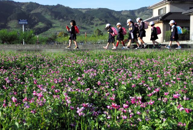 レンゲソウの花が見ごろを迎えた田んぼ。通学時間帯は朝露に映え、色鮮やかだ=うきは市浮羽町浮羽、全日写連石井慧彦さん撮影