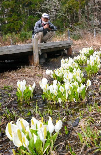 春の訪れを告げるミズバショウ=鏡野町の県立森林公園