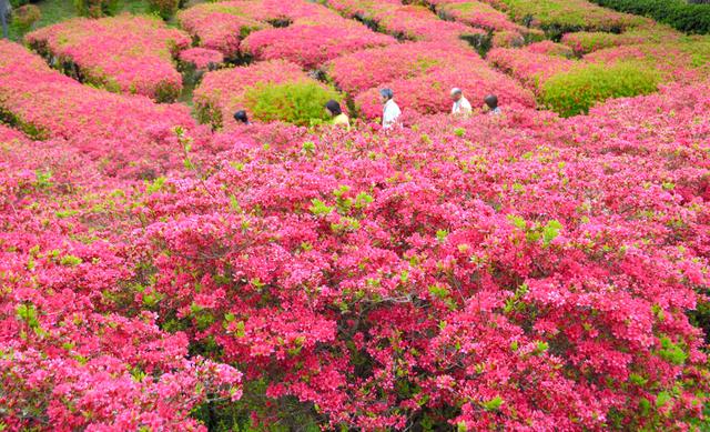赤く染まるツツジ園=伊東市の小室山