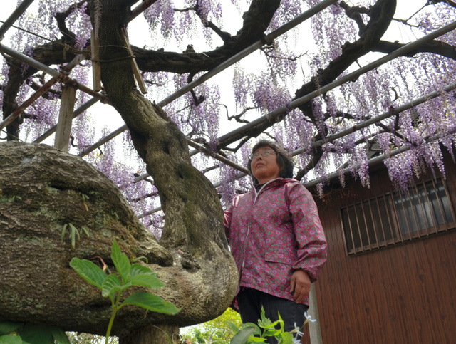 樹齢140年といわれる藤の花を見上げる多田美枝さん=伊勢原市田中