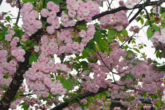 地面に向かって咲く「数珠掛け桜」=豊岡市出石町鳥居