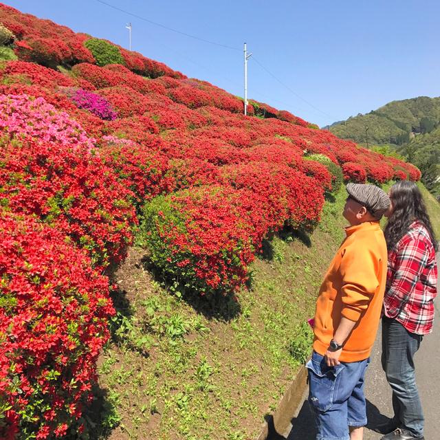 青空と新緑に映える満開のツツジ=日之影町七折の天神山公園、千葉雄一さん撮影