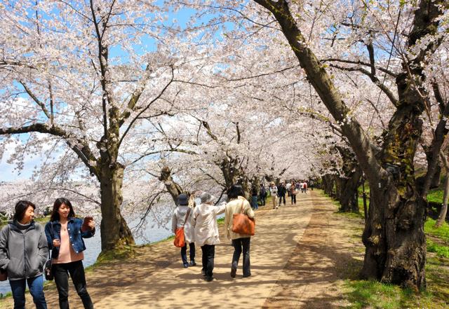 満開になった西堀の「桜のトンネル」=弘前公園
