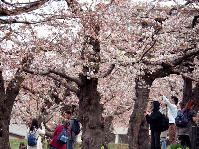 サクラの下で記念写真を撮る観光客ら=函館市の五稜郭公園