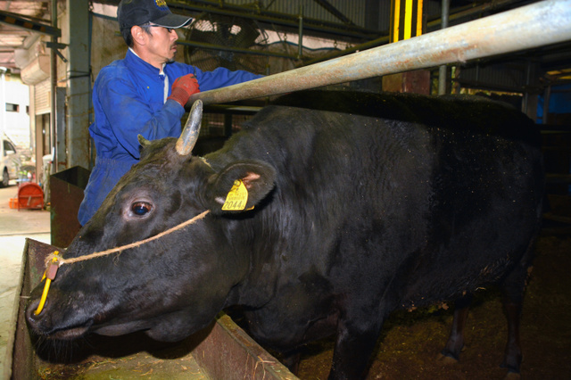 松阪牛を育てる農家は、もとになる子牛の不足に頭を悩ませている=三重県松阪市、高木文子撮影
