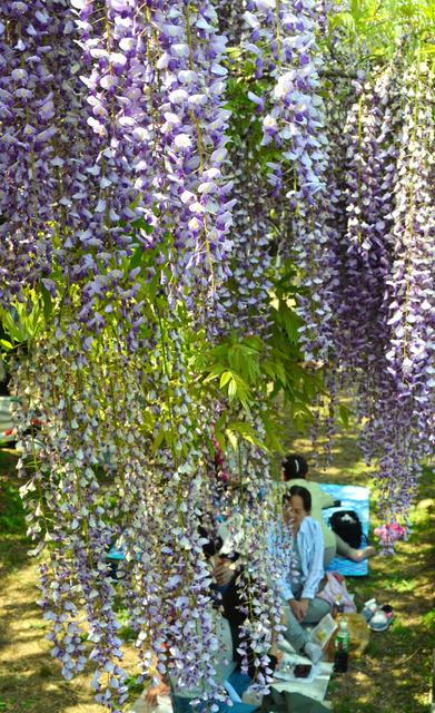 満開となった山田の藤と、楽しむ人たち=玉名市
