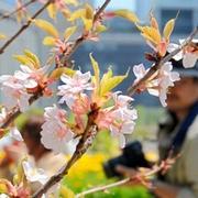 大阪のうめきたガーデン、桜「満開」 北日本から枝空輸