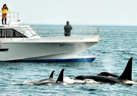 知床近海に海の王者が続々 シャチ30頭、手が届きそう
