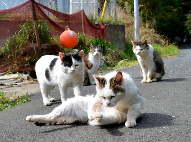 道路に横たわる野良猫=宮城県石巻市の田代島