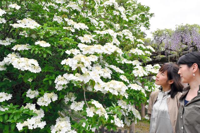 満開の「瓊花」を楽しむ人たち=奈良市の唐招提寺