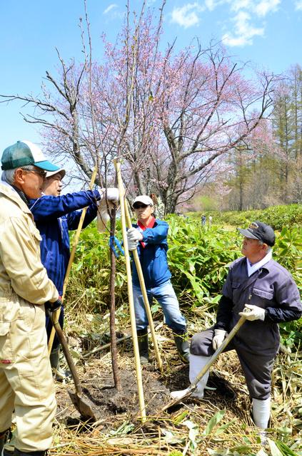 「二見の桜並木」に苗木を植える関係者=網走市