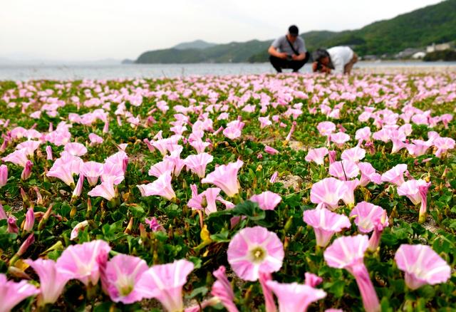 初夏を告げるハマヒルガオ=小豆島町