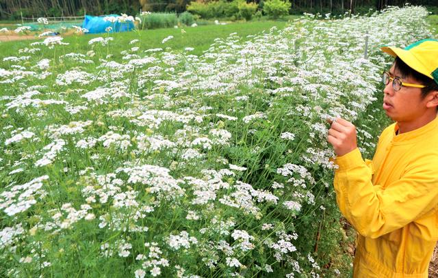 満開を迎えたパクチーの花=岡山市北区牟佐