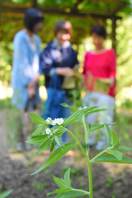 純白の花を咲かせたムラサキ=奈良市春日野町