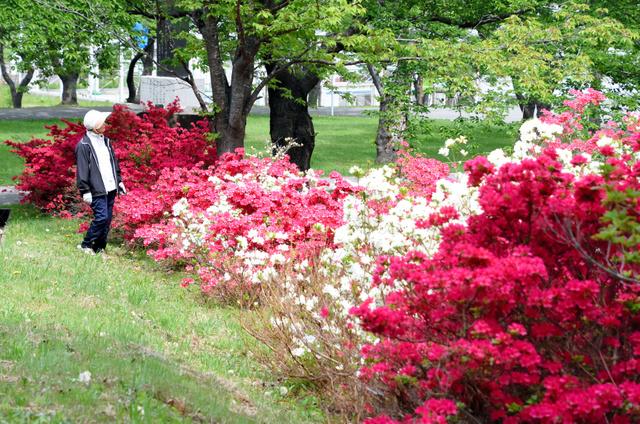 約1キロに渡って咲き誇るツツジ=平内町の夜越山森林公園