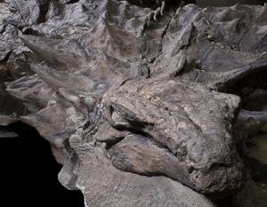 まるでよろい…1億1千万年前の恐竜化石 カナダで展示