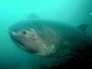 幻の巨大サメ「メガマウス」死ぬ さかなクンも「残念」