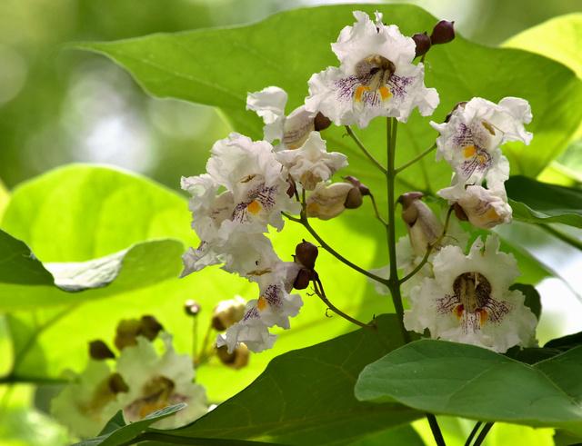 初めて咲いたカタルパの花=久留米市日吉町の三本松公園