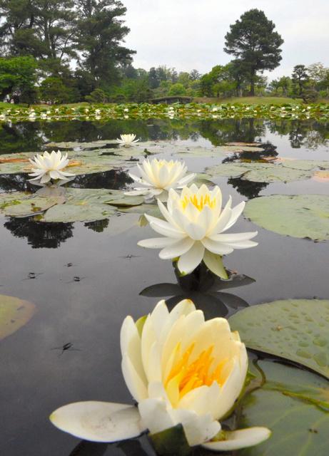 かれんな白い花が咲きそろった衆楽園のスイレン=津山市山北