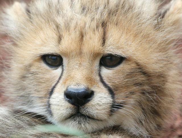 生まれて約2カ月のチーターの赤ちゃん。すでに引き締まった鋭い顔つきだ=竹谷俊之撮影