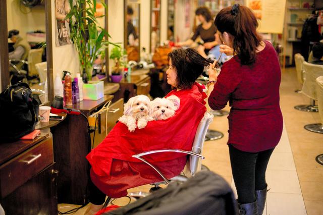 「エイミーの美容室」で主人のエイミー・オオイがカットをする間に、客に抱かれるココとミミ=2017年4月7日、Sam Hodgson/(C)2017 The New York Times。この2匹は、髪を染める際のモデルの役目も果たしている