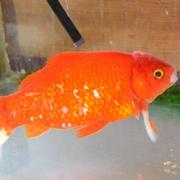 金魚、ご長寿「32歳」 人間なら100歳超 大阪