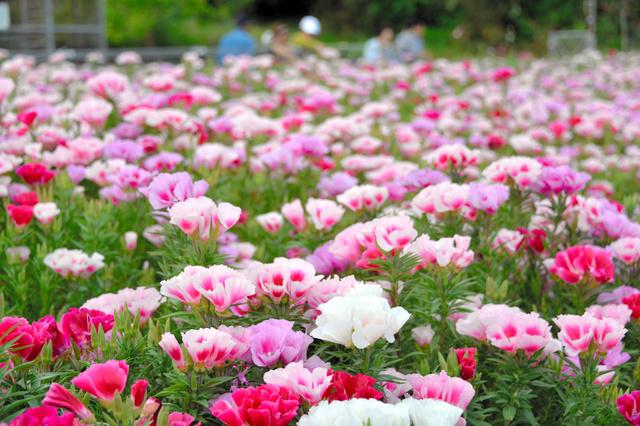 見ごろを迎えたゴデチアの花=みやこ町