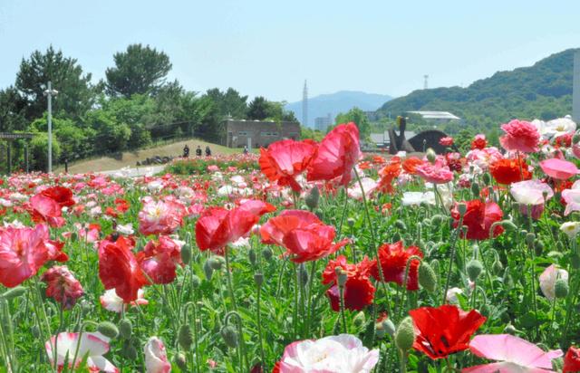 色あざやかに咲き誇るシャーレポピー=淡路島国営明石海峡公園