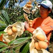 ビワたわわ、収穫最盛期 長崎、全国出荷量の3割