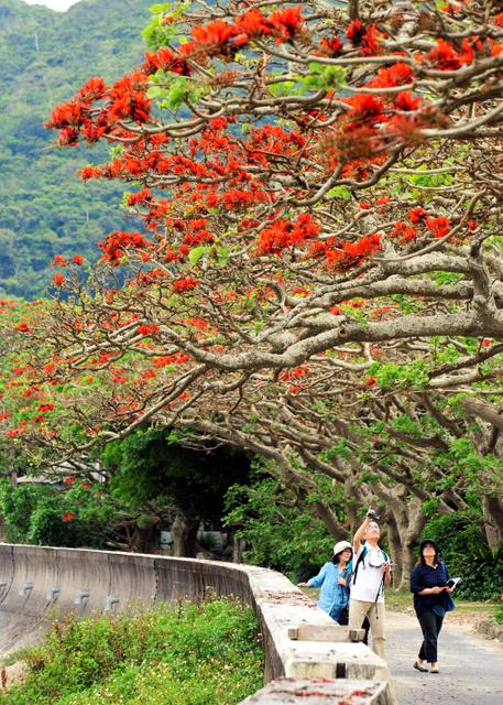 赤い花が美しい諸鈍集落のデイゴ並木=20日、瀬戸内町の加計呂麻島