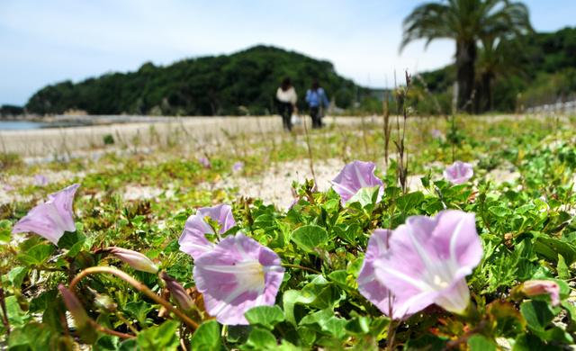 浜辺で風に揺れるハマヒルガオの花=松山市大浦